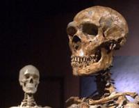 Скелет неандертальца (на переднем плане) и современного человека (на заднем) стоят бок о бок в Музее естественной истории в Нью-Йорке (American Museum of Natural History) – они уже давно считаются ближайшими